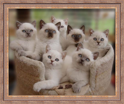 Welcome to our Web Site | Dixylan British Shorthair | Dixylan British